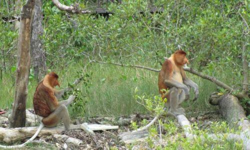 Zdjecie MALEZJA / Borneo / Bako National Park / nosacze...