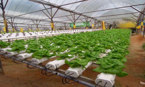 Zdjecie MALEZJA / Cameron Highlands / Plantacja truskawek / Pole sałaty :)
