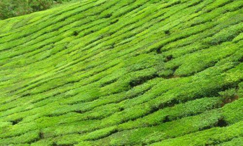 Zdjecie MALEZJA / Cameron Highlands / Cameron Highlands / Herbatkę?