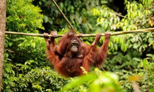 Zdjęcie MALEZJA / Borneo, Sabah / Sepilok Orang Utan Sanctuary / Orantugany