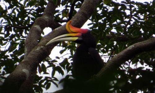 MALEZJA / Taman Negara / Park Narodowy / dzioborożec