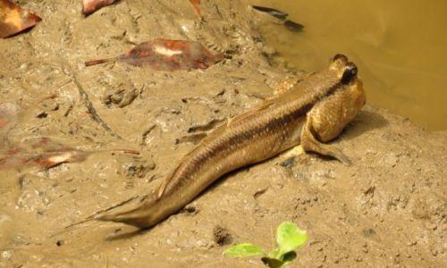 MALEZJA / Kelang / Las namorzynowy / Poskoczek (ryba)