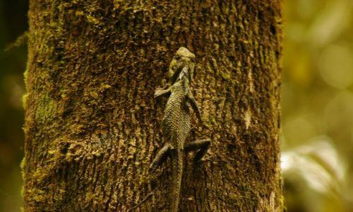 Zdjęcie MALEZJA / Sabah / Kinabalu Park / Jaszczur