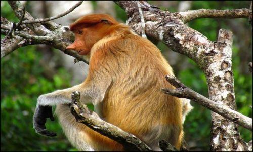 Zdjecie MALEZJA / Borneo / Labuk Bay / Ona 2