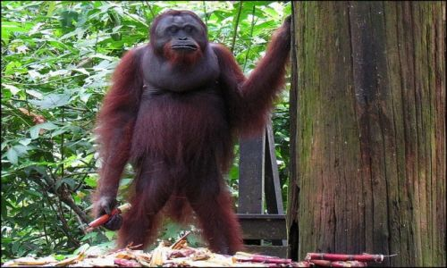 Zdjecie MALEZJA / Borneo / Sepilok / Leśni ludzie z Borneo 4