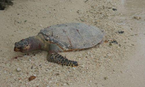 Zdjęcie MALEZJA / Langkawi / Beras Basah Island / Śpiący Żółw
