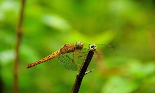 Zdjecie MALEZJA / - / Kuala Lumpur, Botanic Garden / Ważka - konkurs makro