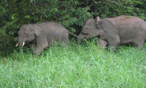 Zdjęcie MALEZJA / Borneo / Kinabatangan River / Mini slonie