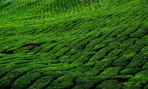 Zdjecie MALEZJA / Cameron Highlands / Cameron Highlands / tea time