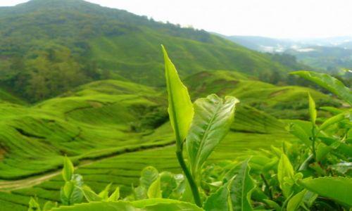 Zdjęcie MALEZJA / Cameron Highlands / Herbaciana plantacja / Zielony smak