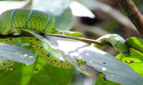 Zdjecie MALEZJA / Borneo / MULU / Wąż zielony