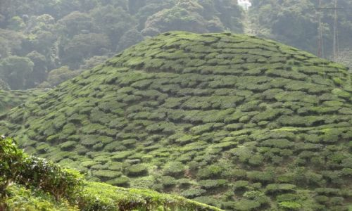 Zdjecie MALEZJA / Cameron Highlands / Tanah Rata / Plantacja herba