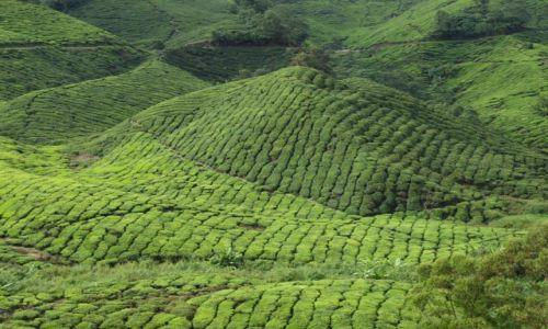 MALEZJA / BOH Góry Camerona / plantacja herbaty / plantacja herbaty