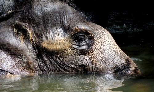 Zdjecie MALEZJA / Pahang / Kuala Gandah / Elephant Sanctuary