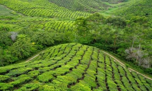 Zdjęcie MALEZJA / Cameron Highlands / BOH / Plantacja herbaty