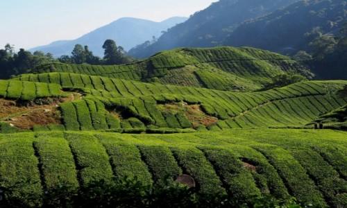 Zdjęcie MALEZJA / Cameron Highlands / BOH / Herbata