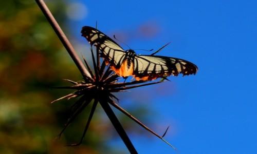 Zdjecie MALEZJA / Cameron Highlands / okolice Gunung Batu Brinchang / Motyl