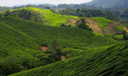 Zdjęcie MALEZJA / Cameron Highlands / BOH / Herbaciane pola Malezji