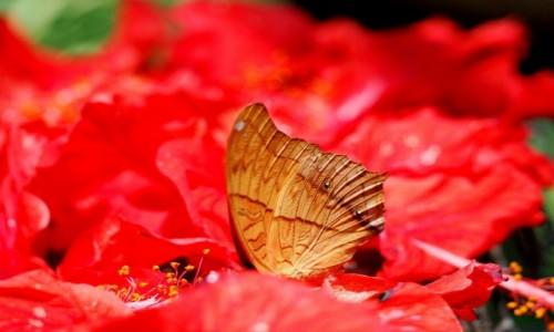 Zdjecie MALEZJA / środkowa część Płw. Malajskiego / Butterfly  Park KL  / W kwiatach....