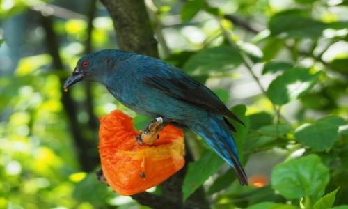 MALEZJA / środkowa część Płw. Malajskiego / Bird Park KL / Niebieski  ptak