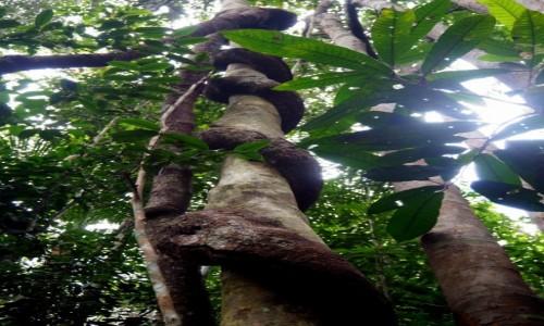 Zdjecie MALEZJA / środkowa część Płw. Malajskiego / Taman Negara / Liana