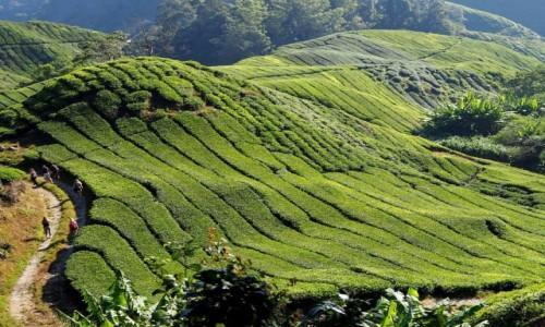 Zdjecie MALEZJA / Cameron Highlands / BOH TEA / Herbaciane pola Malezji