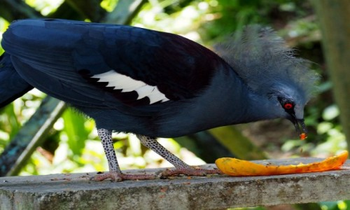 Zdjecie MALEZJA / KL / Bird Park / Koroniec plamoc