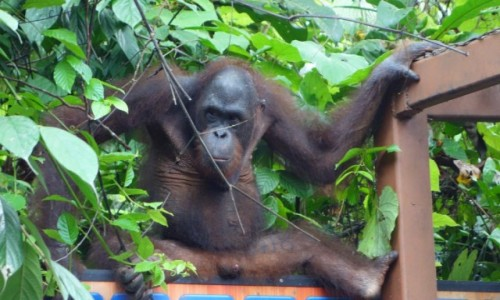 Zdjęcie MALEZJA / Sandakan / Sepilok / Ceria von Orangutan