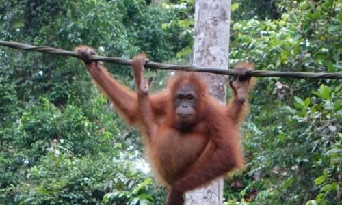 MALEZJA / Sandakan / Sepilok / Kacy - tłuściutki orangutanek