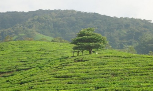MALEZJA / Pahang / Cameron Highlands / Pola herbaciane
