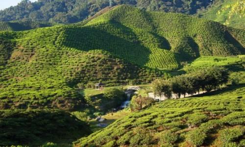 Zdjecie MALEZJA / Cameron Highlands / Cameron Highlands / W krainie herba