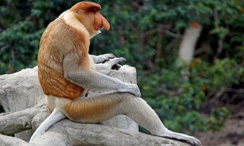 Zdjęcie MALEZJA / - / Borneo / Nosacz
