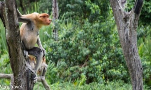 MALEZJA / Sabah / Labuk Bay / Małpa nosacz