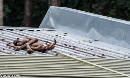 MALEZJA / Sabah / Sepilok Orangutan Rehabilitation Centre / Orangutan inny niż wszystkie