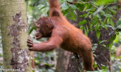 MALEZJA / Sabah / Sepilok Orangutan Rehabilitation Centre / Angelina Jolie Orangutanów