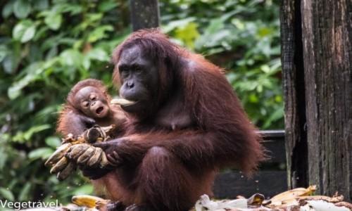 Zdjęcie MALEZJA / Sabah / Sandakan / Mimi z dzieckiem