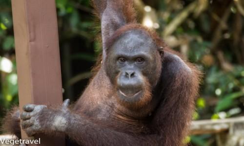 Zdjecie MALEZJA / Sabah / Sepilok Orangutan Rehabilitation Centre / Ceria - niegrzeczny orangutan :)