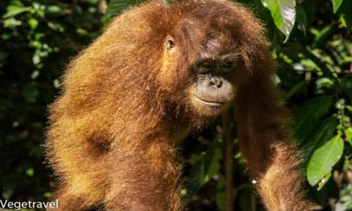 Zdjęcie MALEZJA / Sabah / Sepilok Orangutan Rehabilitation Centre / Kacy - wygląda sympatycznie, tylko wygląda ...