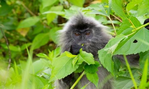 Zdjecie MALEZJA / Borneo / NP Bako / Silvered leaf monkey