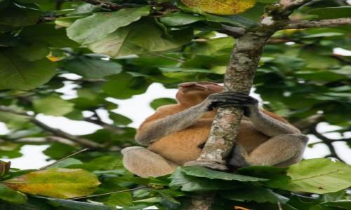 MALEZJA / Borneo / NP Bako / Mieszkaniec dżungli