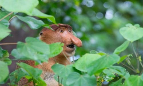 Zdjecie MALEZJA / Borneo / NP Bako / Mieszkaniec dżungli
