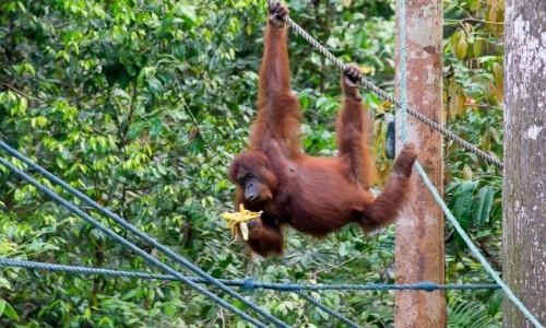 MALEZJA / Borneo / Semenggogh Nature Reserve / Banany są ok!