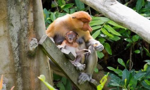 Zdjecie MALEZJA / Borneo / Labuk Bay / Z dzieciątkiem
