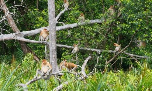 Zdjecie MALEZJA / Borneo / Labuk Bay / Ile nosaczy jest na zdjęciu?