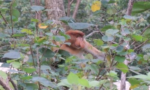 Zdjęcie MALEZJA / Bako / Borneo / zamyślony nosacz ;)