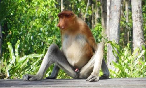 Zdjęcie MALEZJA / Borneo, Sabah / Labuk Bay Proboscis Monkey Sanctuary / Borneo, Semporna