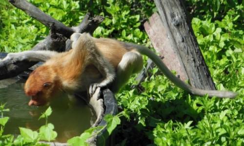 MALEZJA / Borneo, Sabah / Labuk Bay Proboscis Monkey Sanctuary / Borneo, Sabah