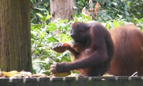 Zdjęcie MALEZJA / Borneo, Sabah / Sepilok, szpital dla orangunanów / Borneo, Sepilok