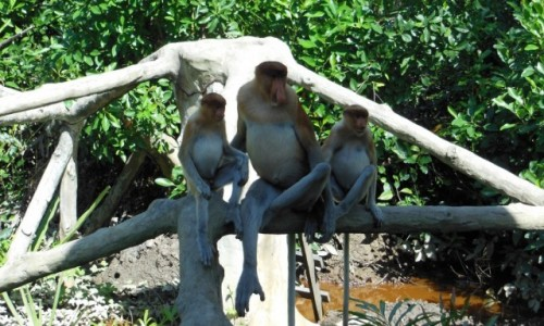 Zdjęcie MALEZJA / Borneo, Sabah / Labuk Bay Proboscis Monkey Sanctuary / Borneo, Sabah