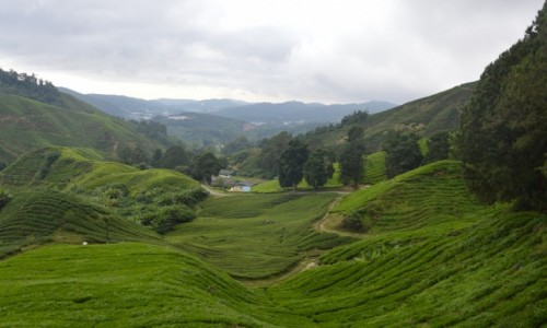 Zdjecie MALEZJA / Cameroon Highlands / Tea plantation in Cameroon Highlands / Tea heaven in Cameroon Highlands, Malaysia